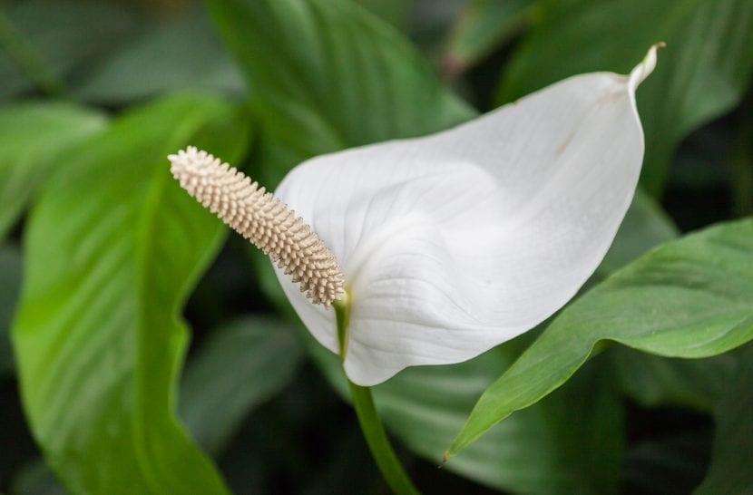 Espatifilo planta purificadora hogar